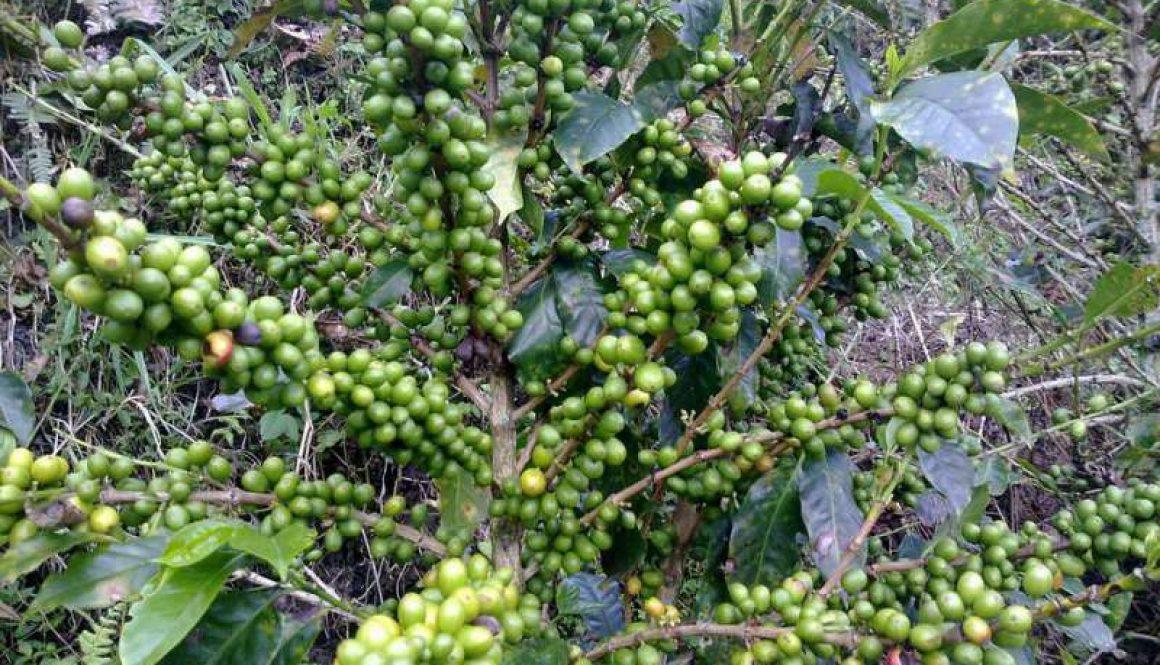 Kann Grüner Kaffee beim Abnehmen helfen?