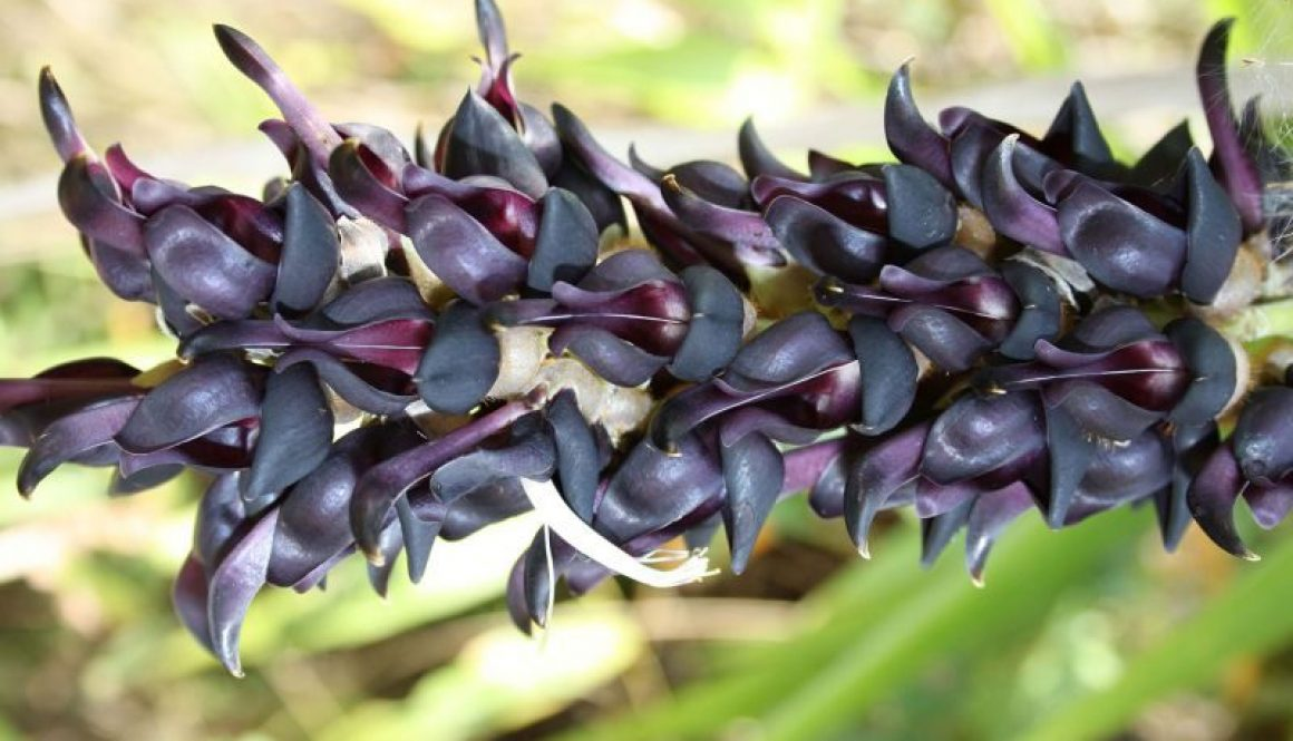 Mucuna Pruriens benefits and side effects
