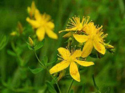 health benefits of st. john's wort